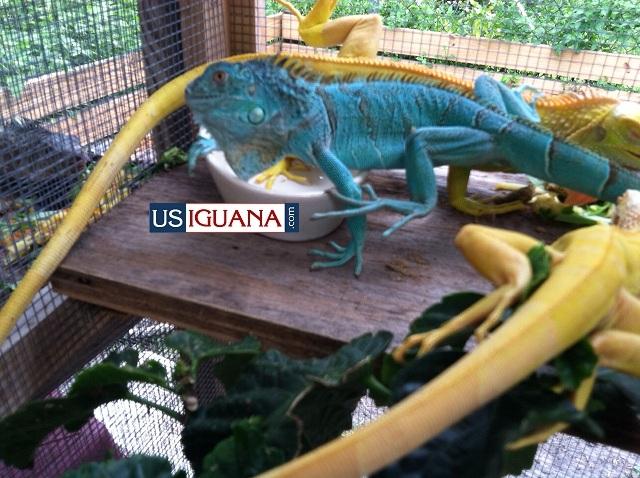 Blue Iguana For Sale : Blue iguana for sale near me grand cayman iguana aka blue iguana